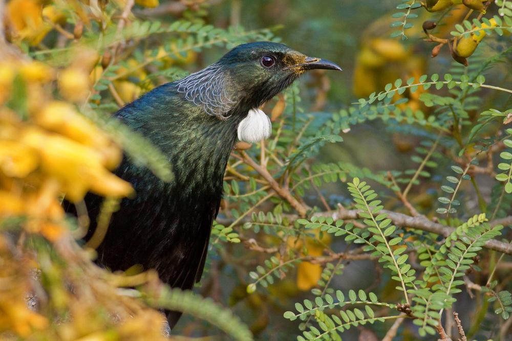 Tui, Botanic Garden30(s).jpg