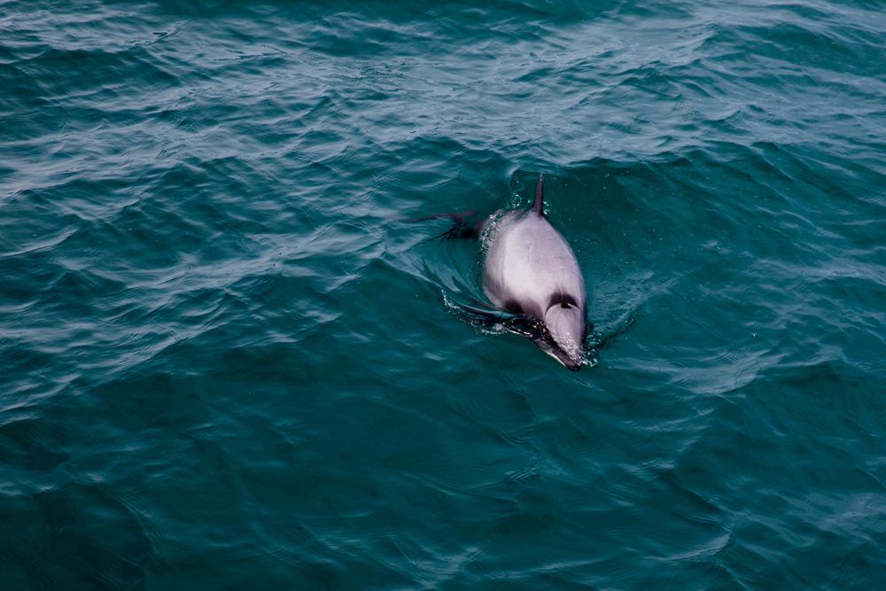 hectors-dolphin-2-web.jpg