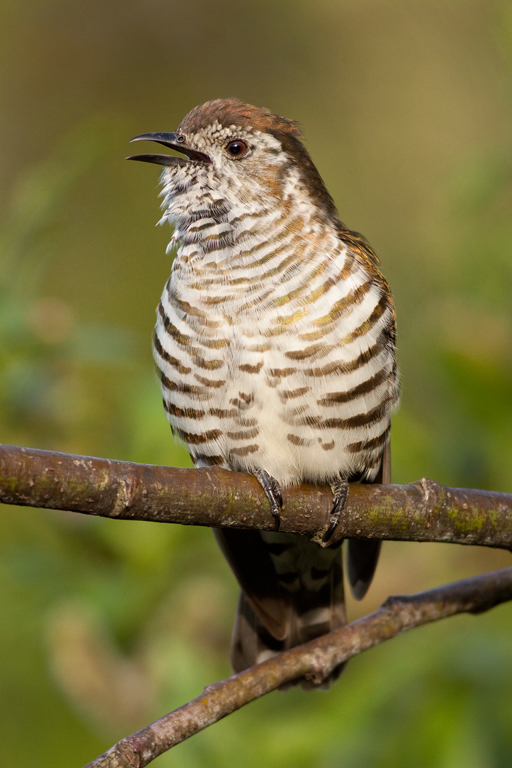 Shining cuckoo, Logan Park High1(s).jpg