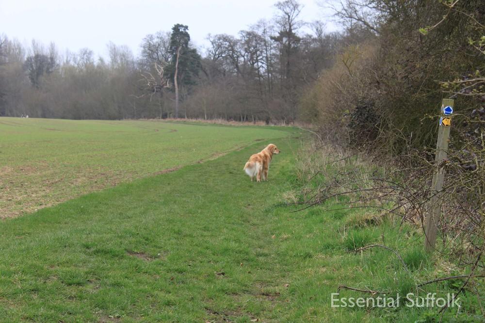 Cretingham dog walk08.jpg
