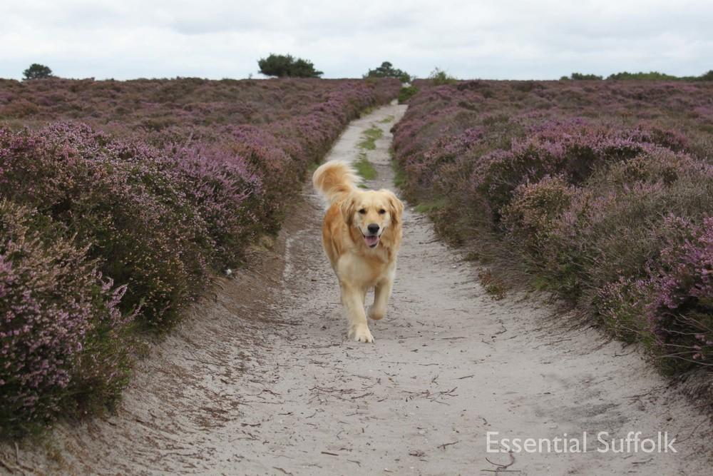 Dunwich dog walk 104.jpg