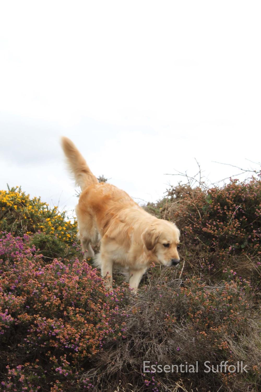 Dunwich dog walk 108.jpg