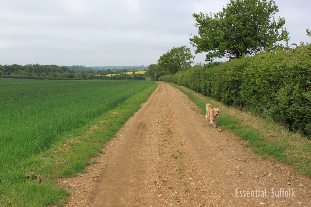 Pettistree Dog Walk01.jpg