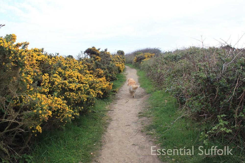 Thorpeness Dog Walk11.jpg