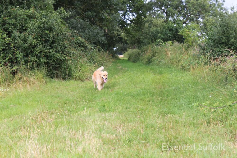 Sibton Dog Walk 3 IMG_0616.jpg