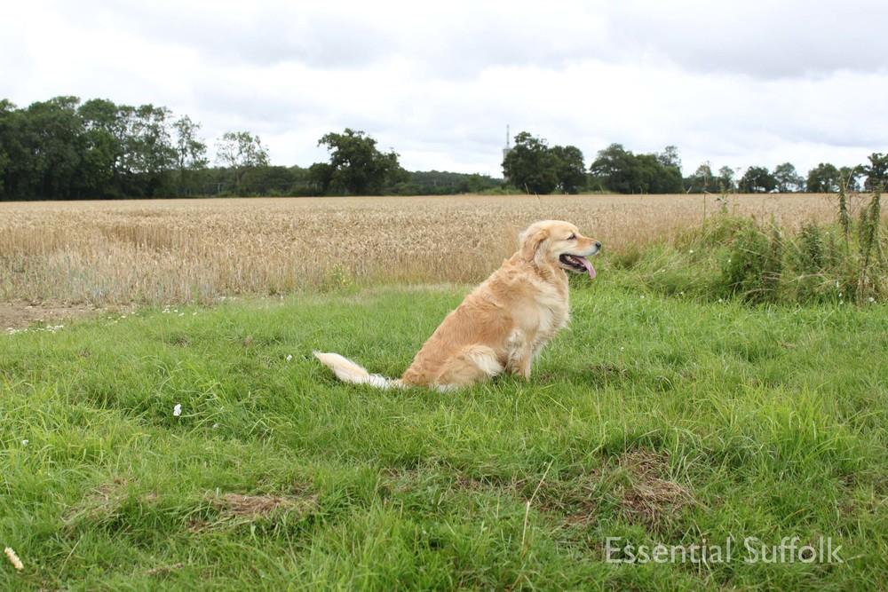 Sibton Dog Walk 3 IMG_0625.jpg
