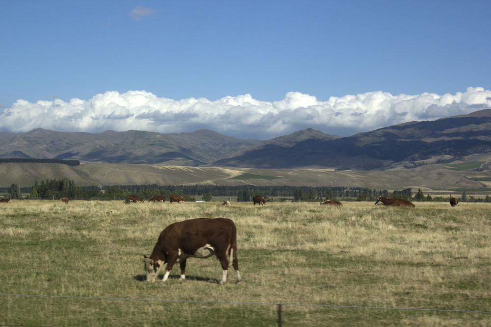 4408_Cows.jpg