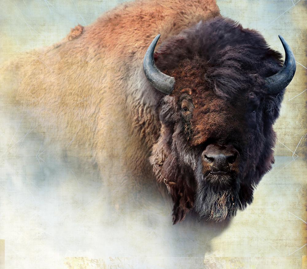 bison 43 x 38.jpg