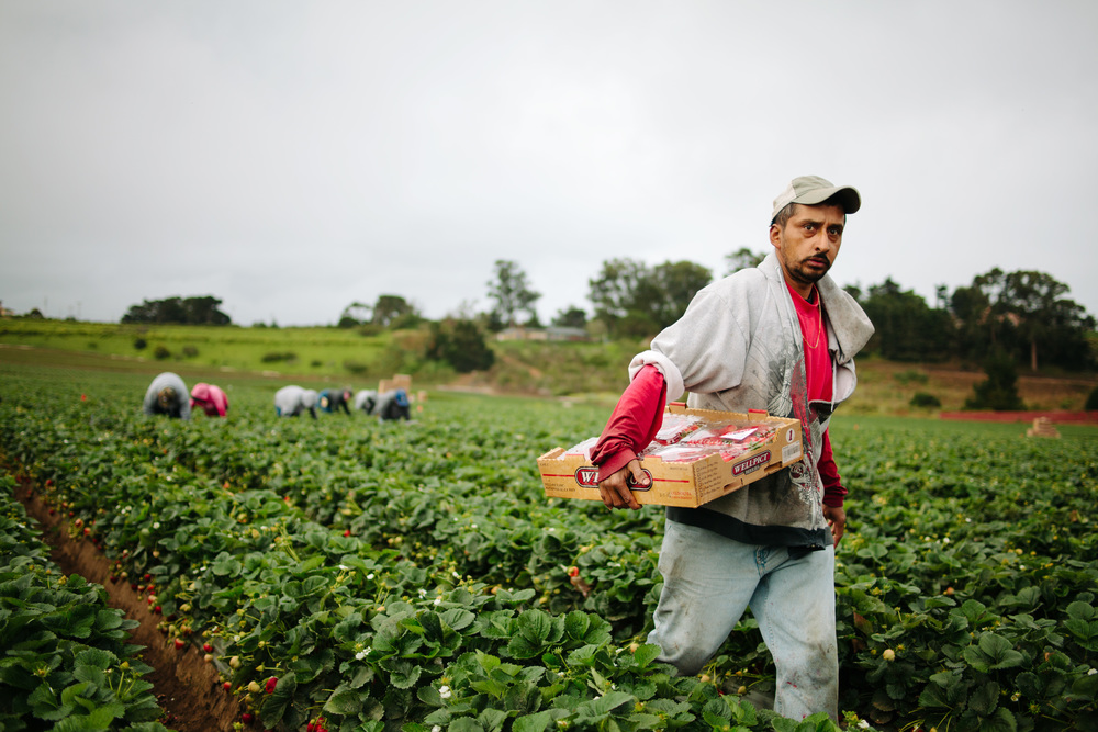 Strawberry Field Workers