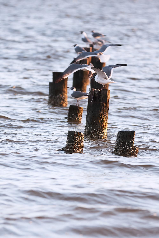 SeagullsBiloxiBeach.jpg