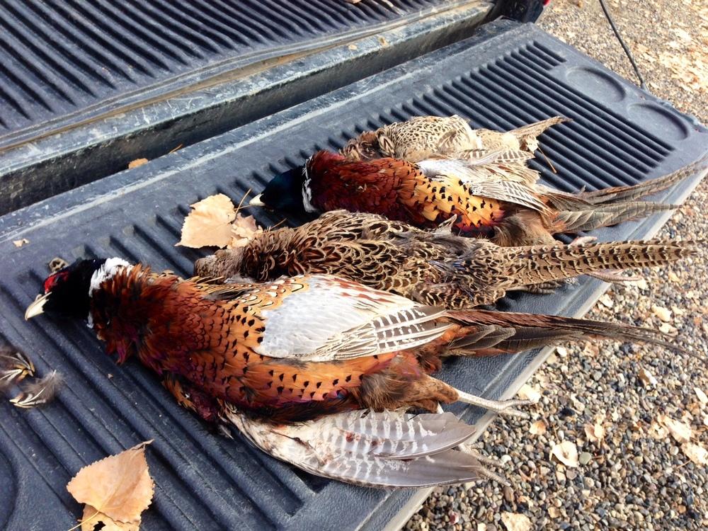 bullhead pheasants.jpg