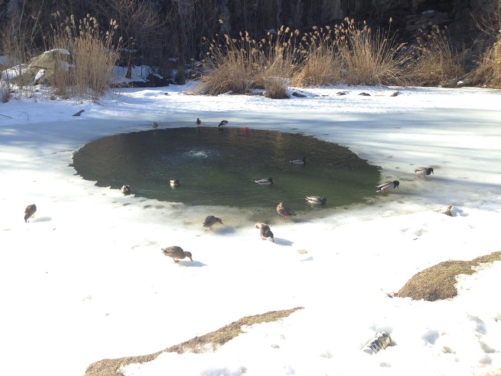 Morningside Park ducks, Spring 2014