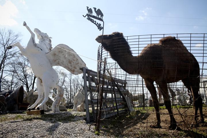 Unicorn camel