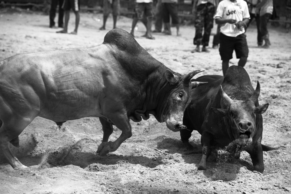 Bull Fight No. 2