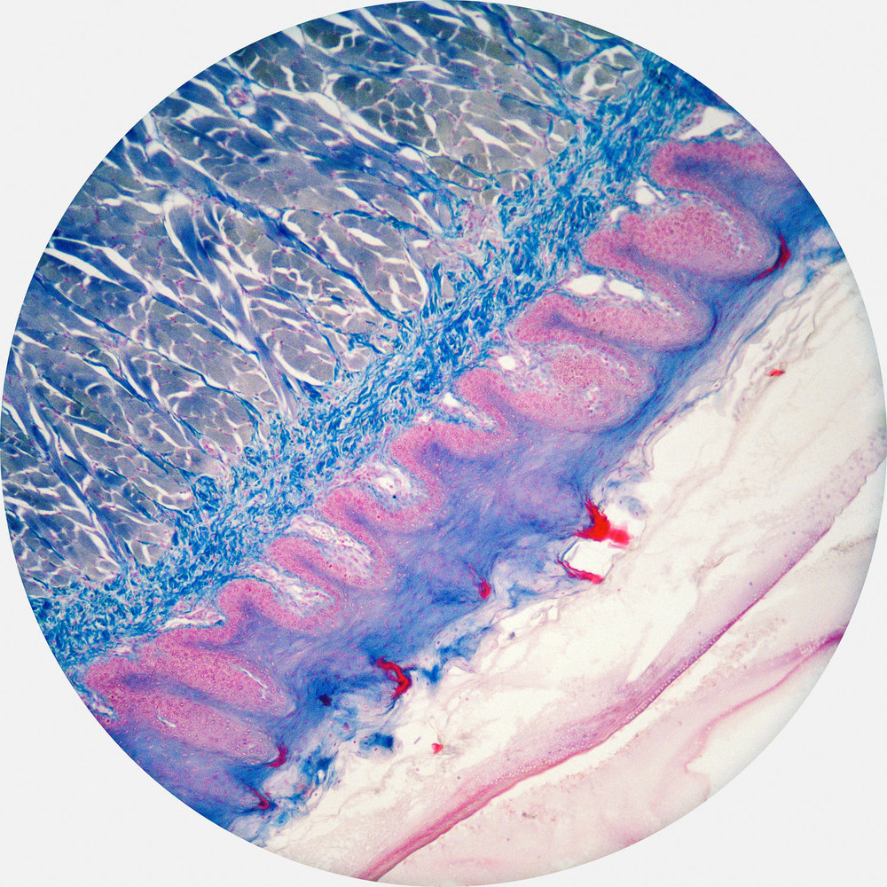 Epithelial + Simple Columnar Tissue