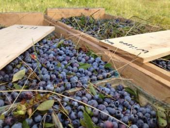 Berry boxes. (Photo courtesy Lynne Davidson)