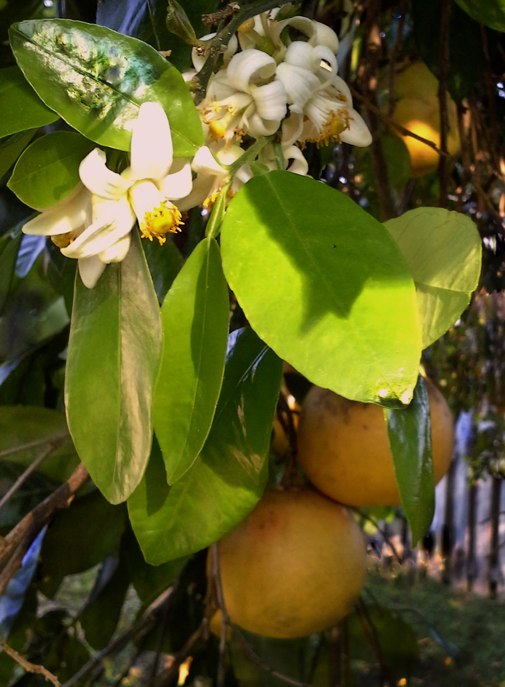 Grapefruit Blossoms