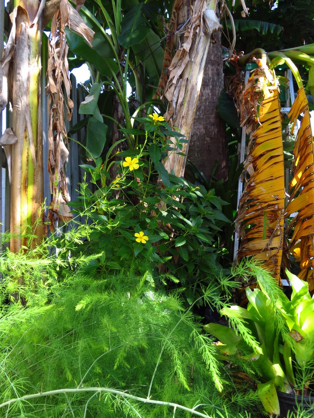 Asparagus under the banana trees