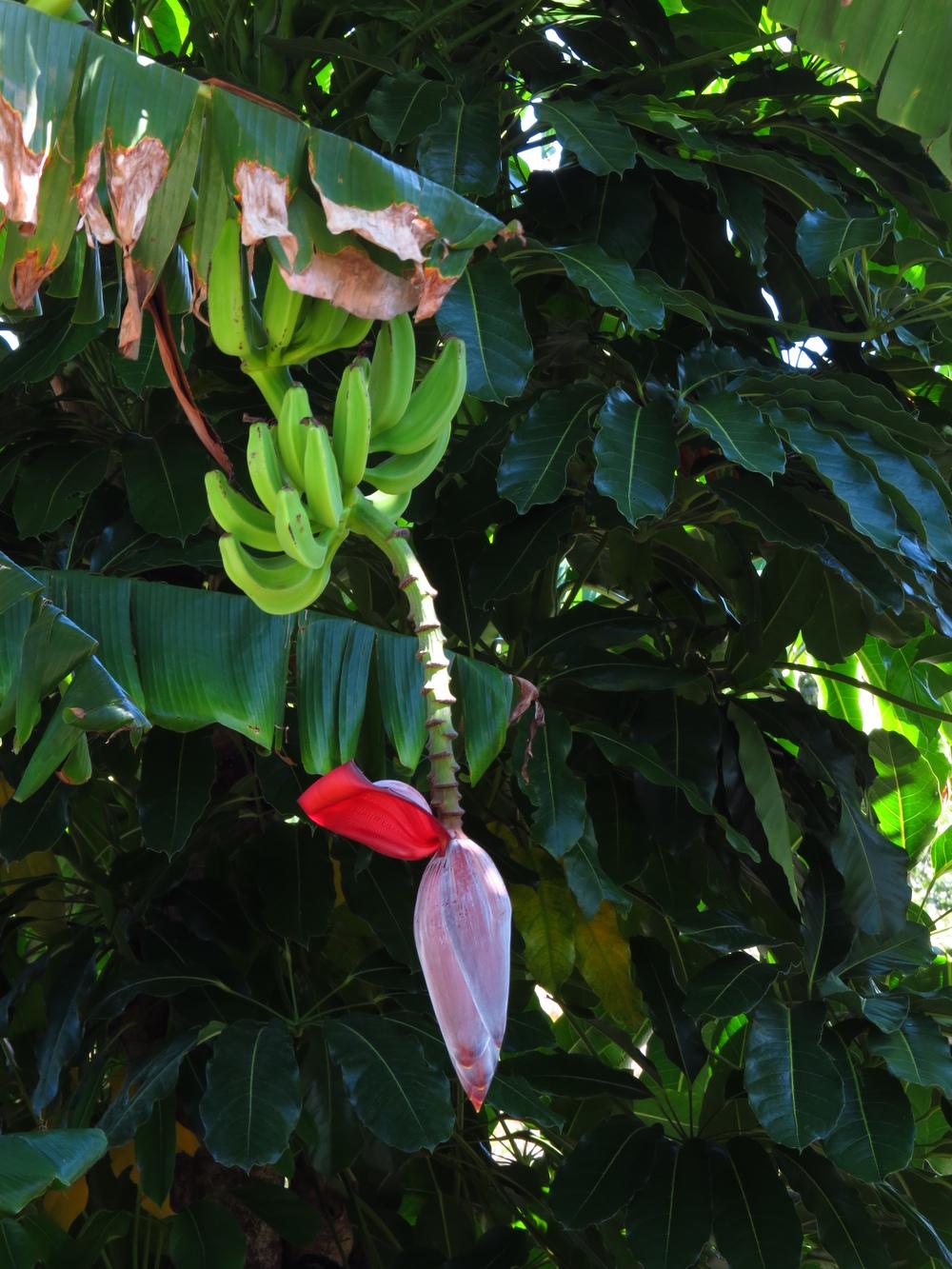 Short plantains