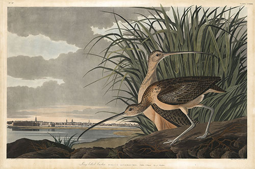 Audubon-LongBilledCurlew-small.jpg