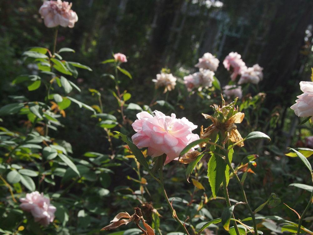 Rose Garden109.JPG