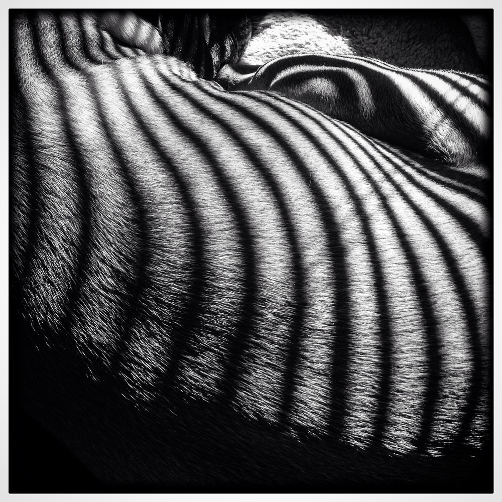 Morning Light Zebra Fur