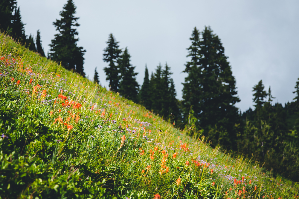 Wildflowers never left our side over the whole hike, except on the snowy pass