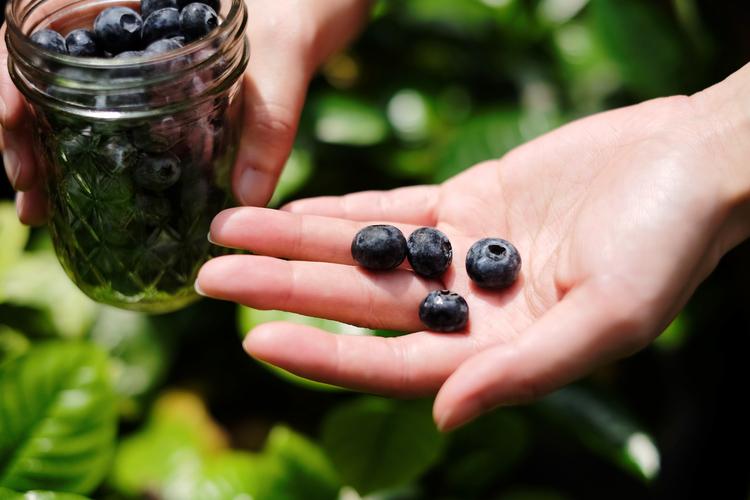 靜悄悄地生長,在產季之時結實壘壘,藍莓是模樣討喜的果實。