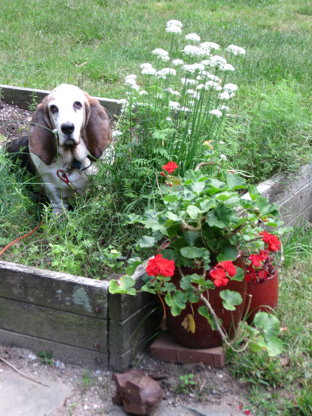 Lily the Wonder Basset invading the herb garden.