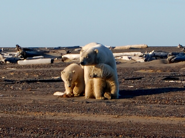 bear, polar - walking - 2010 - KAK.jpg