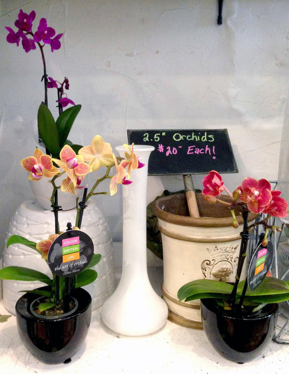 Orchids are becoming popular choices for any occasion! You can find them here in many different sizes