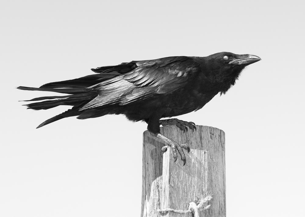 Copy of Raven