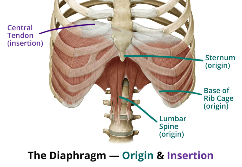 diaphragm and lungs relationship with god