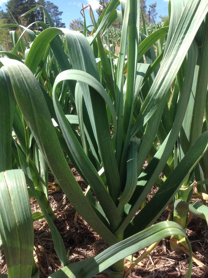 garlic-stem-in-the-paddock-morganics-farm.jpg