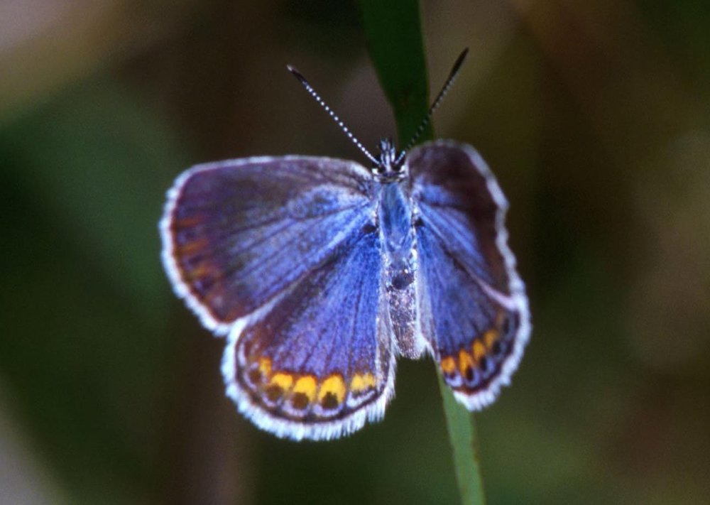 "Karner Blue Butterfly ( Lycaeides melissa samuelis )   (2008). Photo courtesy of the U.S. Fish & Wildlife Service National Digital Library.   "" The Karner blue was first identified and named by novelist and lepidopterist    Vladimir Nabokov  .  """