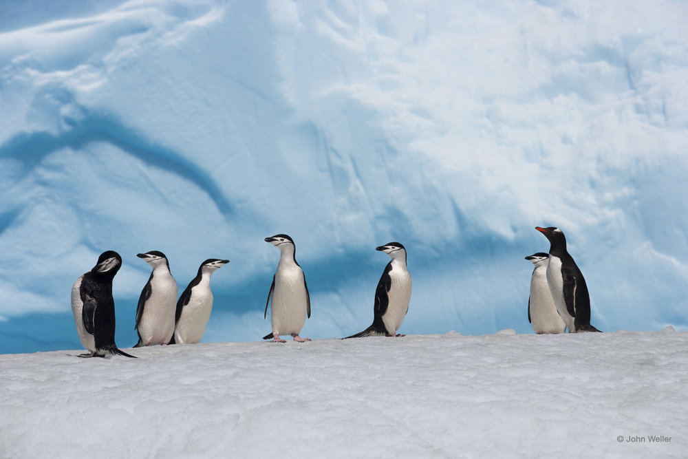 Chinstrap Penguins — © John Weller.jpg