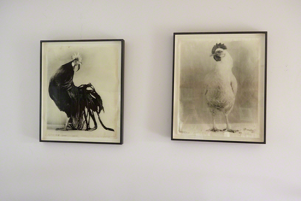 Prints from Poultry Series by Jean Pagliuso