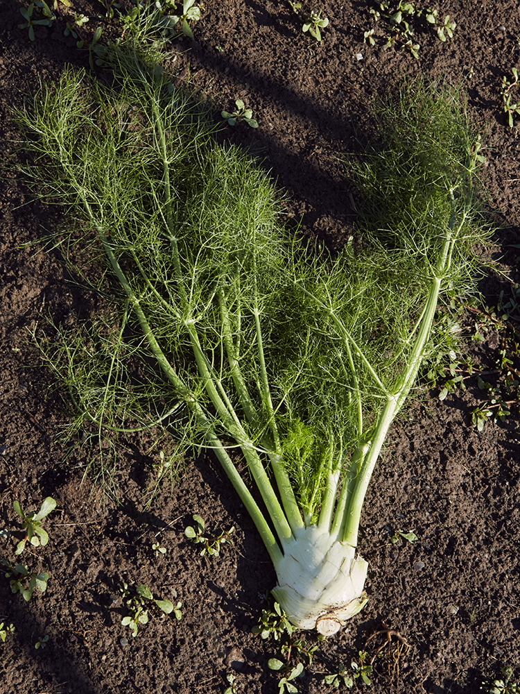 Fennel from the earth to the a plate at The Standard Plaza.