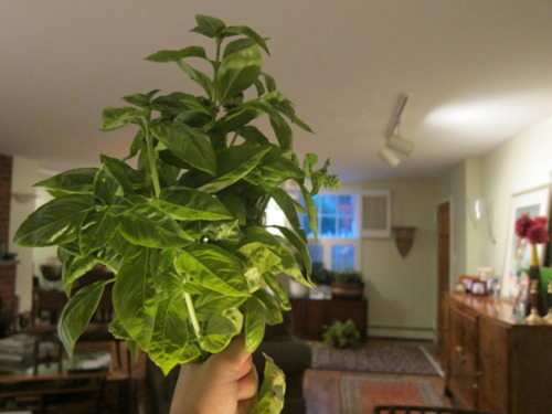 Basil grows in my parents' driveway. Make a bouquet!