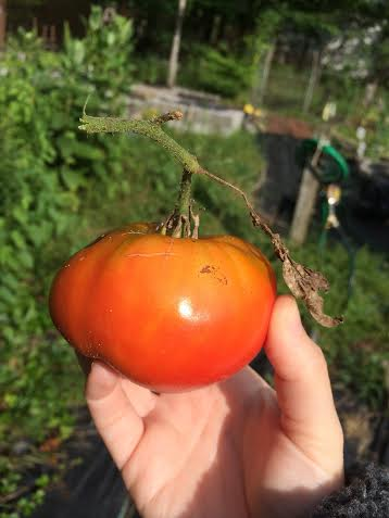 A homegrown tomato from my own father's garden. A Flatow tomato, if you will.