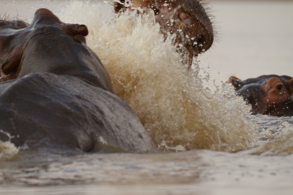 Smaller hipp bystanders often fall victim to injuries during bull hippos territorial fights, which are violent and often difficult to move away from fast enough.  (Photo credit: Earth Touch LTD)