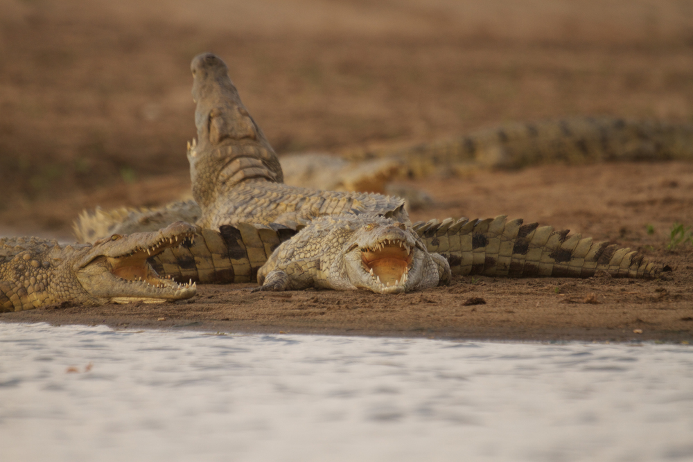 Crocodiles have a unique method of cooling down during the heat of the day. By basking on the riverbank and opening their mouths wide, they can release heat while resting, and often get a good teeth cleaning form birds at the same time.  (Photo credit: Earth Touch LTD)