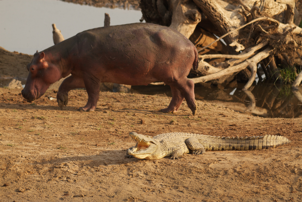 Crocodiles and hippos are often surprisingly tolerant of each other, moving amongst eachother in water and on land, such as this hippo walking past a basking crocodile on the riverbank.  (Photo credit: Earth Touch LTD)
