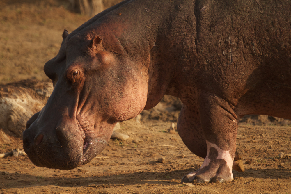 Hippos bear the history of their battles on their bodies, showing war wounds and scars across their bodies, particularly prominent when they are walking on land.(Photo credit: Earth Touch LTD)