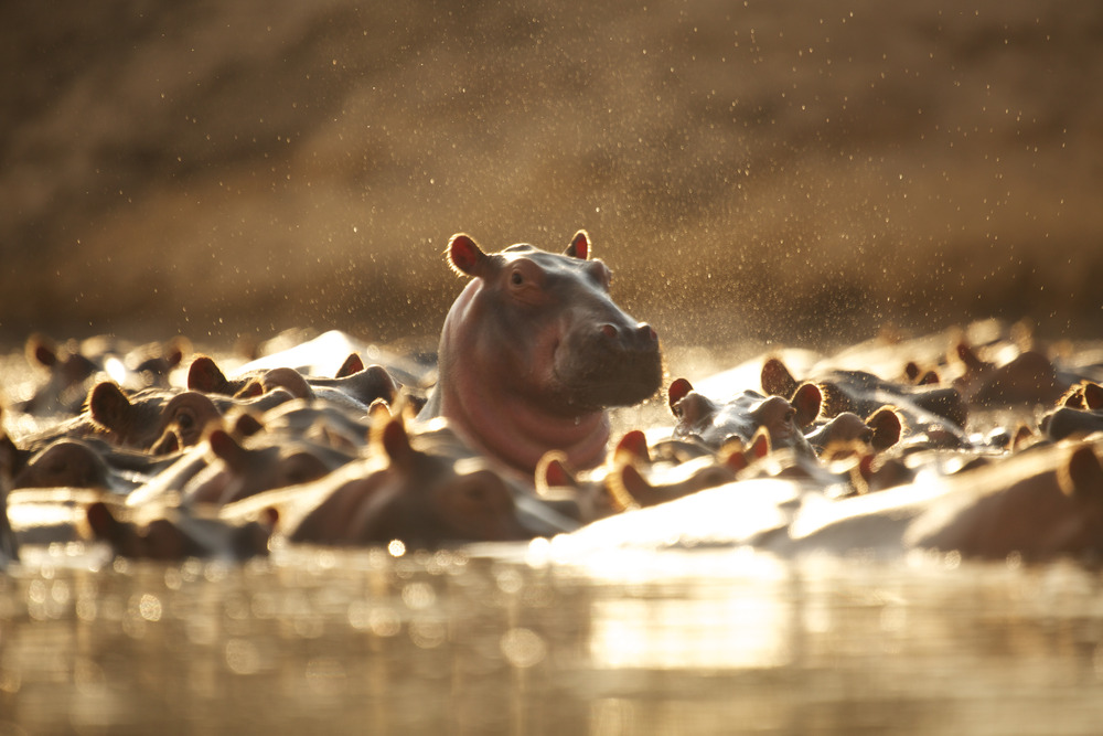 Hippo pods can reach numbers ranging from 80 to 800 members in one pod, guarded by a dominant bull. During the dry season pods often have to share waterways and numbers can reach dangerously high, increasing the likelihood of fights and aggression.(Photo credit: Earth Touch LTD)
