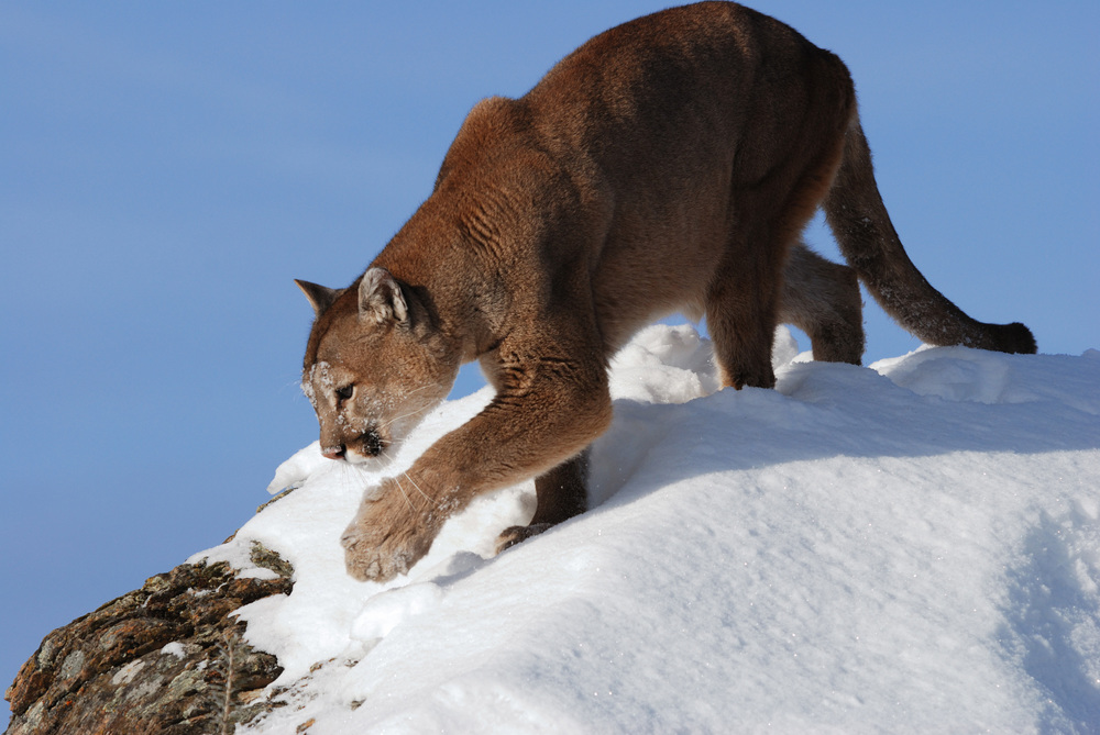 A mountain lion in snow.(photo credit:  Mark Elbroch/ Panthera)