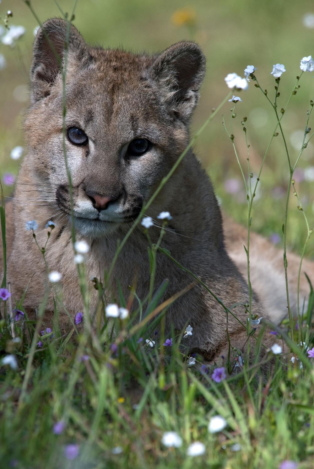 Four month old mountain lion kitten.(photo credit:  Mark Elbroch/ Panthera)