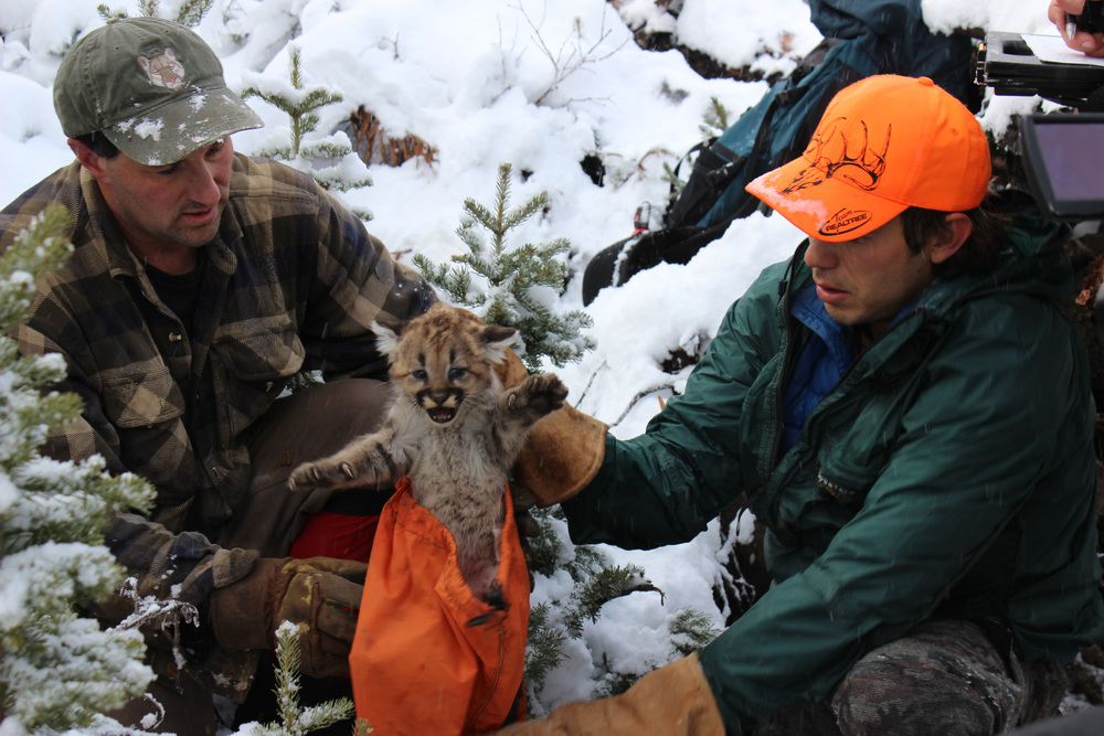 Mountain lion kitten.(photo credit:  Anna Place/ BBC)