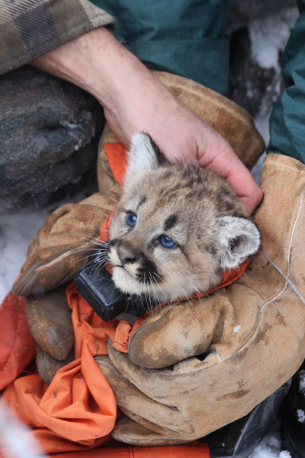 Mountain lion kitten with a collar.(photo credit:  Anna Place/ BBC)