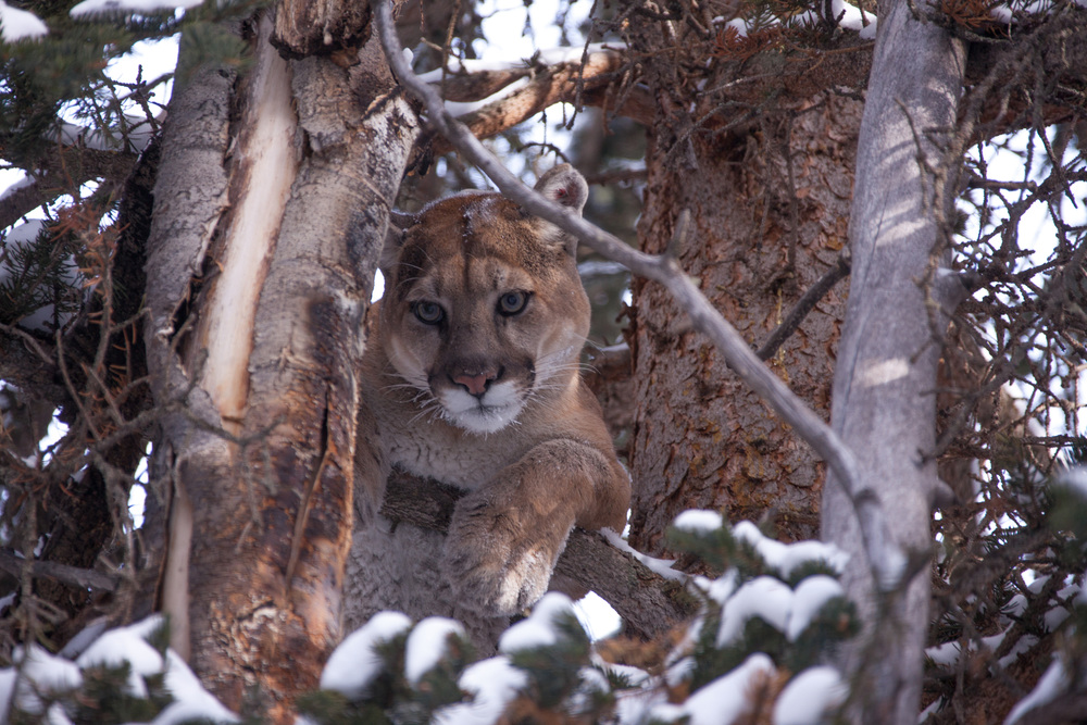Mountain lion in a tree.(photo credit:  Duncan Parker)